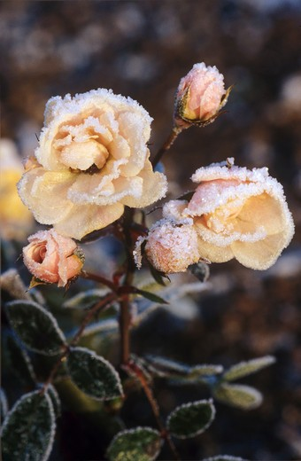 Stock Photo: 4279R-48975 white rose with rime , Rosa