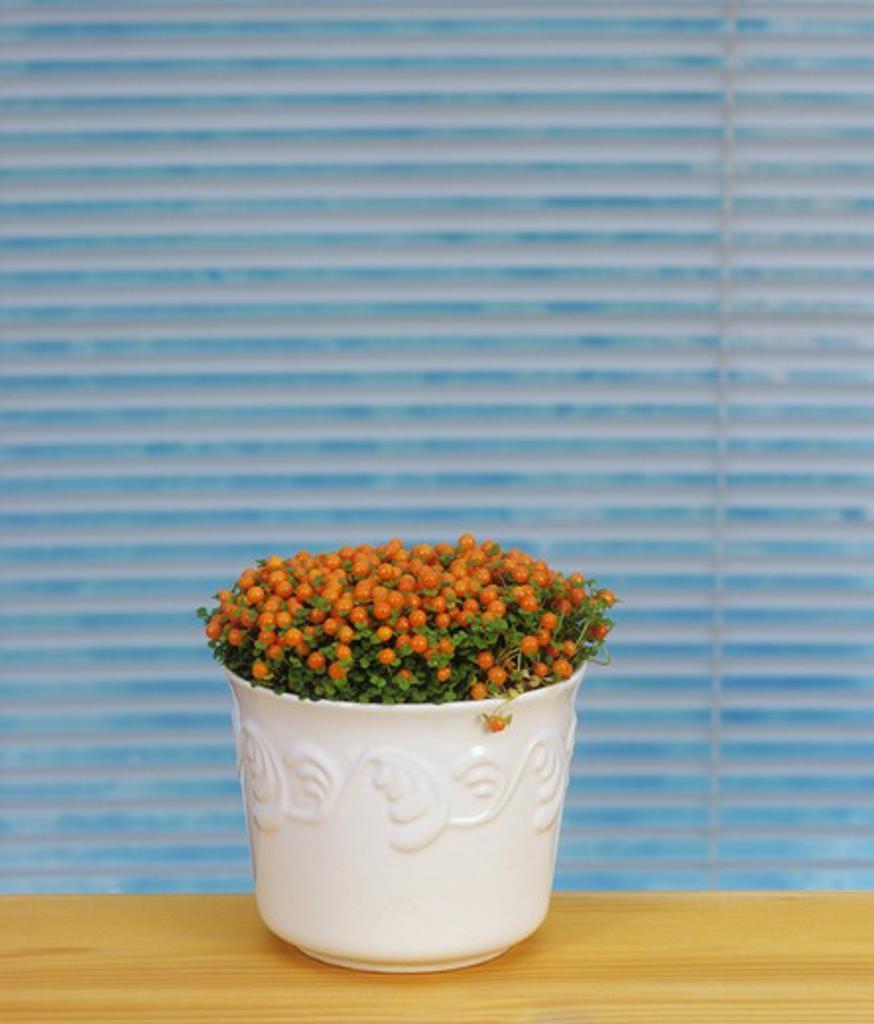bead plant , Nertera granadensis : Stock Photo