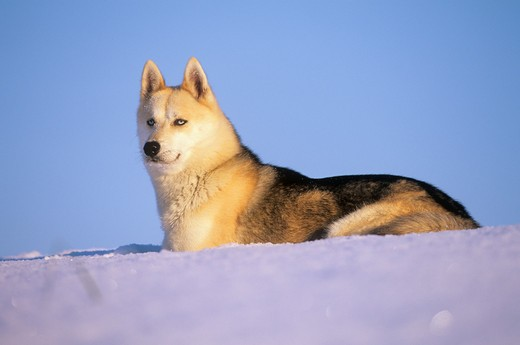 Sibirian Husky - in snow : Stock Photo