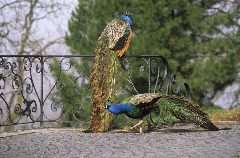 two peacocks : Stock Photo