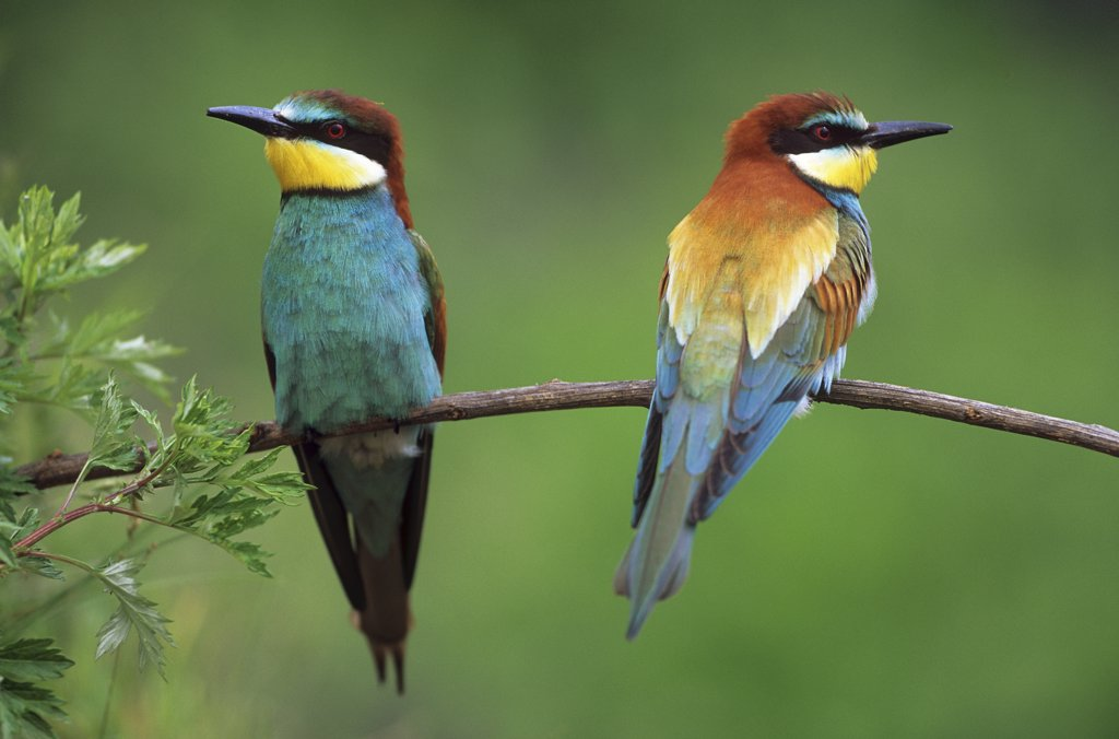 two European bee-eaters on twig , Merops apiaster : Stock Photo