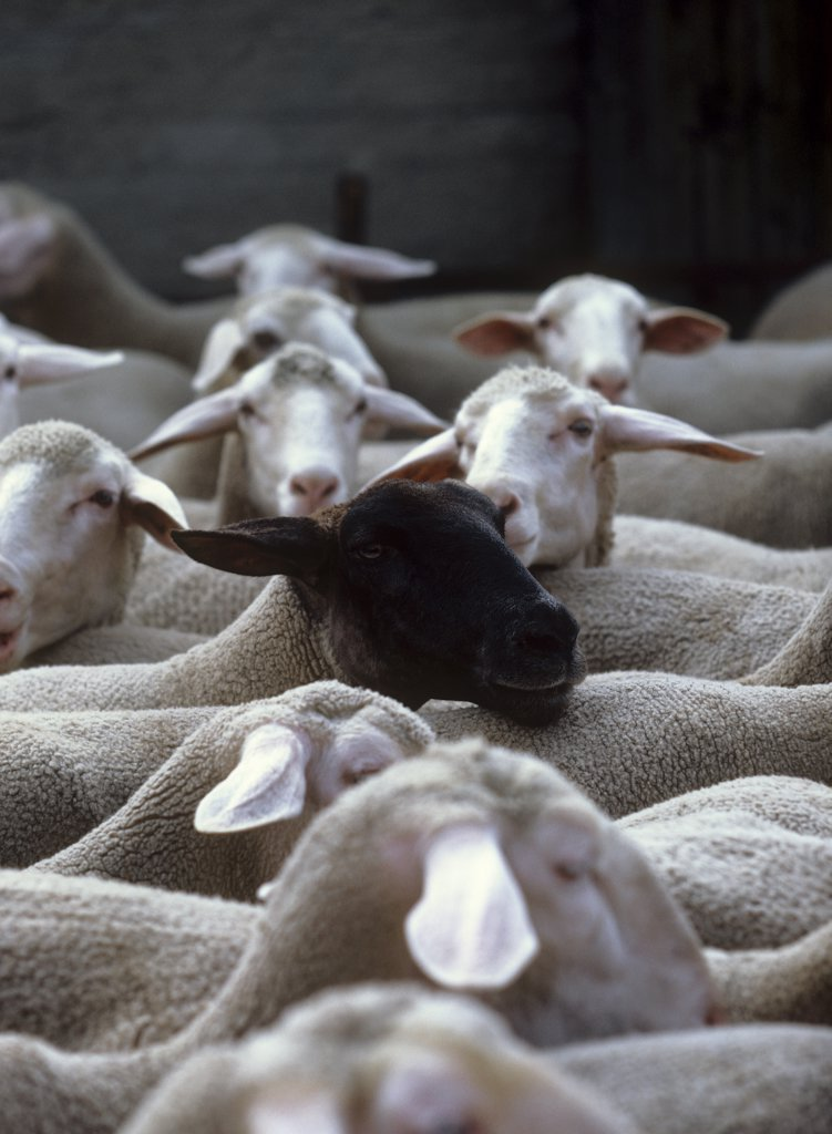 Stock Photo: 4279R-49898 herd of sheep