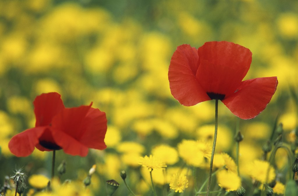 Stock Photo: 4279R-49975 corn poppy - two blossoms