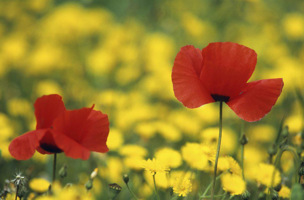 corn poppy - two blossoms : Stock Photo