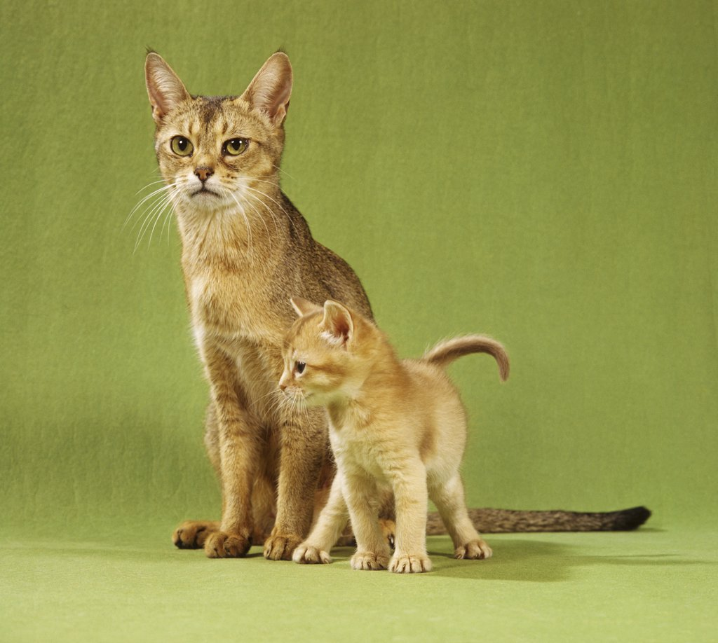 Stock Photo: 4279R-50238 Abyssinian cat and kitten