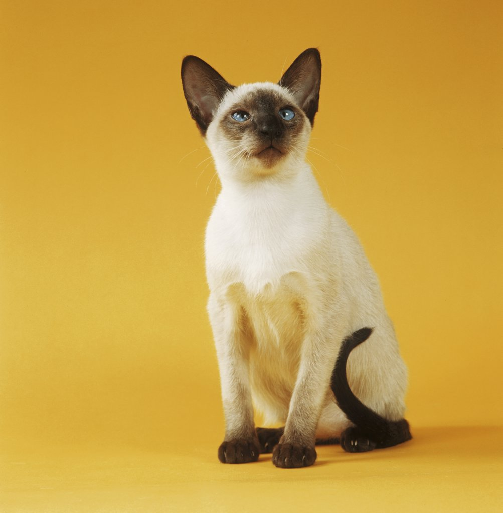Stock Photo: 4279R-50258 Siamese cat (chocolatepoint) - sitting - cut out