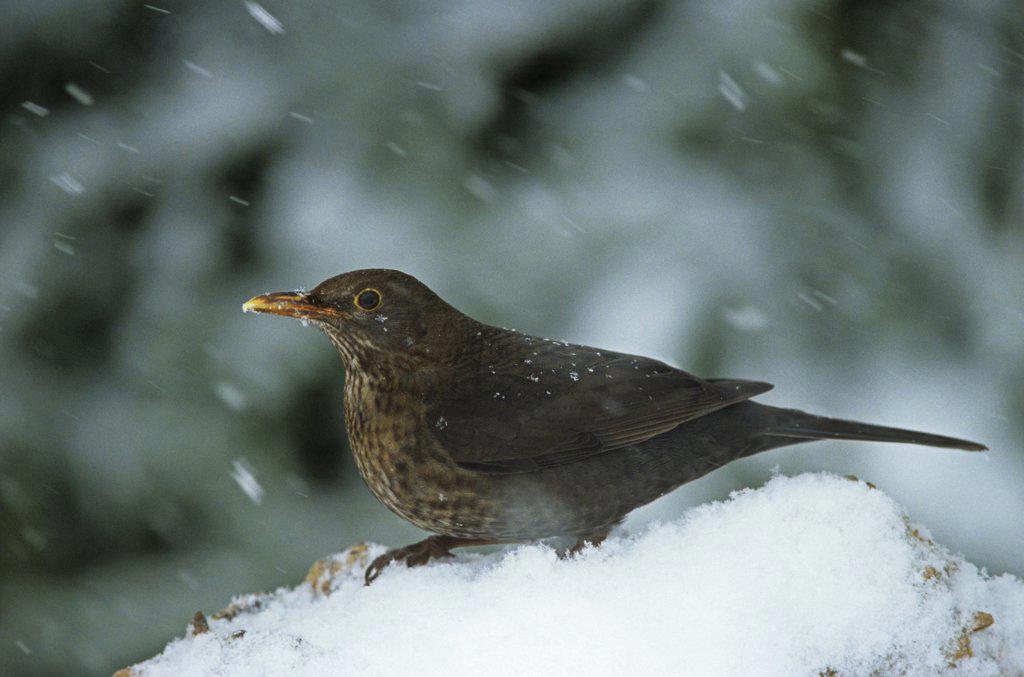 Stock Photo: 4279R-50303 blackbird in snow , Turdus merula