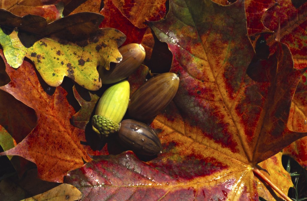 Stock Photo: 4279R-50648 acorn on foliage