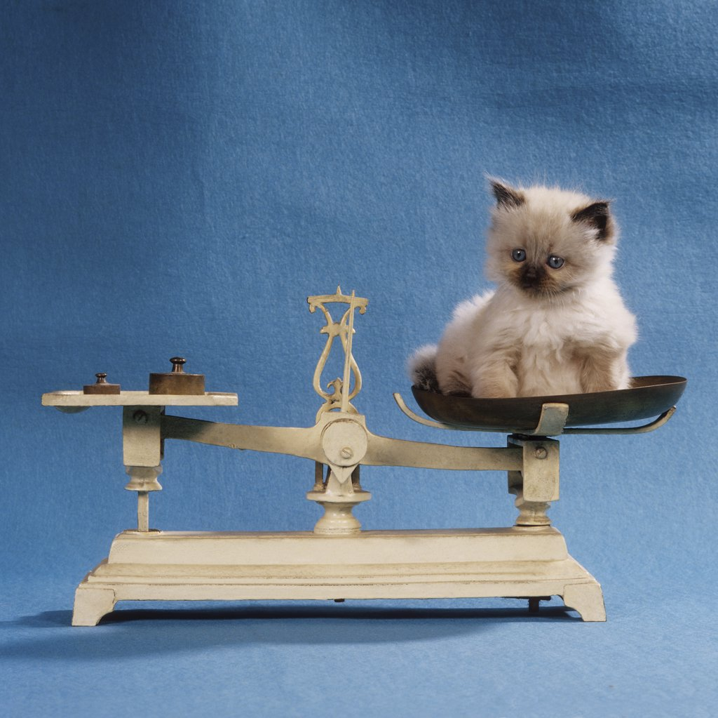 Stock Photo: 4279R-50736 kitten is being weighed