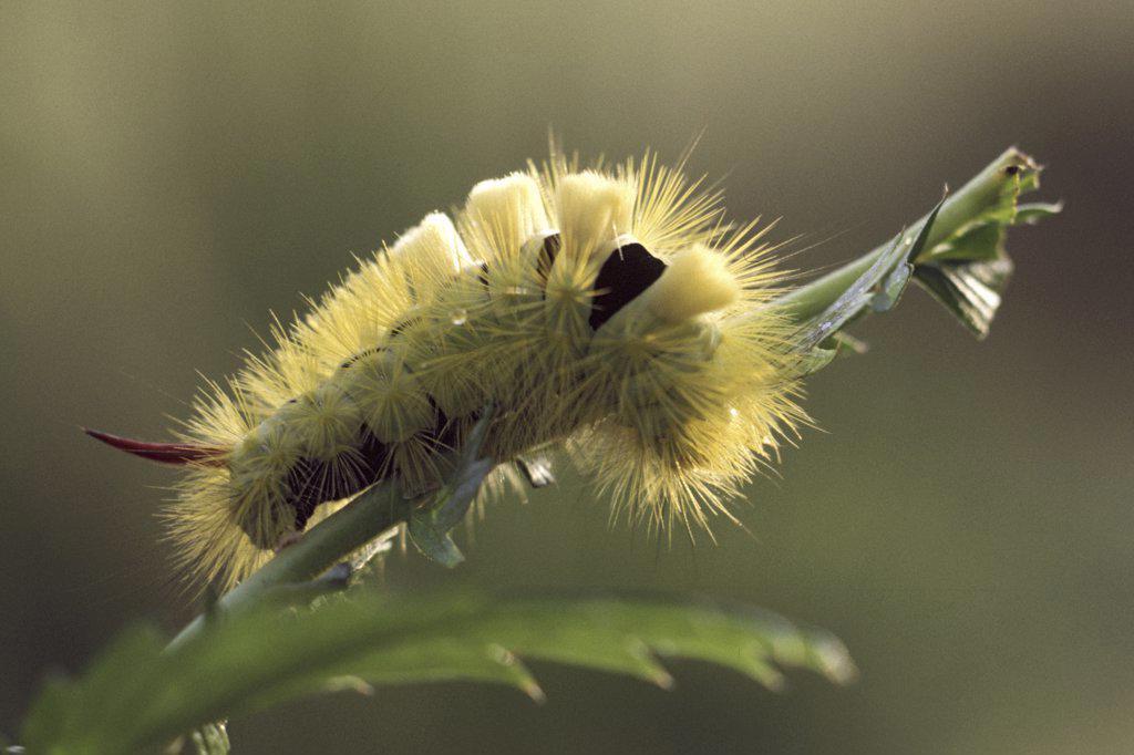 Stock Photo: 4279R-51010 pale tussock - caterpillar , Calliteara pudibunda