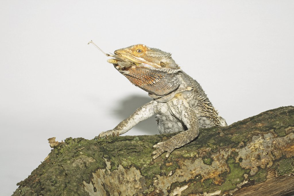 Stock Photo: 4279R-51206 bearded dragon - munching grasshopper , Pogona spp