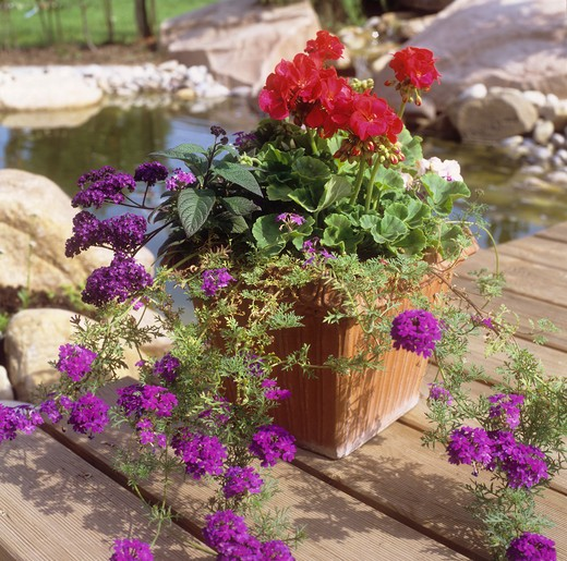 Stock Photo: 4279R-51274 geraniums and vervain in flowerpot