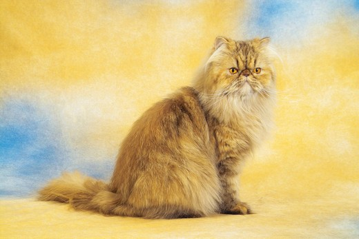 Persian cat - sitting -  cut out : Stock Photo