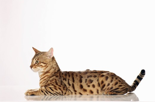 Stock Photo: 4279R-51420 Bengal cat - lying - cut out
