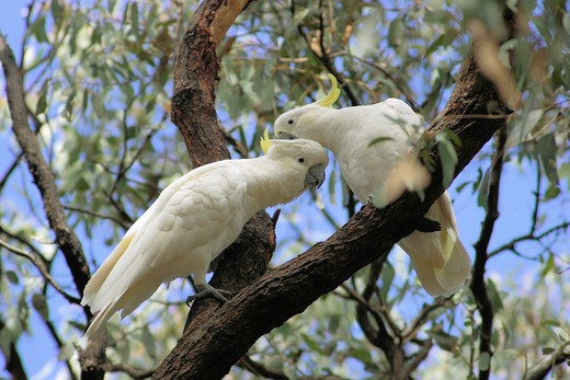 two sulphur-crested cockatoos - on branch , Cacatua galerita : Stock Photo
