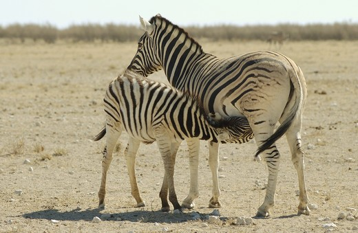Stock Photo: 4279R-51748 Burchell's zebra suckling foal , Equus burchelli