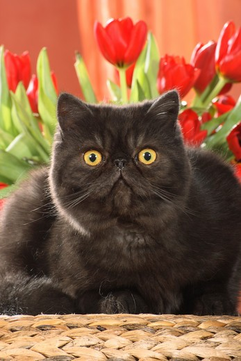 Stock Photo: 4279R-51902 Exotic Shorthair - lying