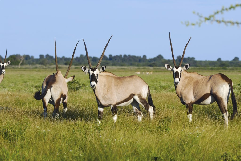 Stock Photo: 4279R-52377 gemsboks - standing on meadow , Oryx gazella