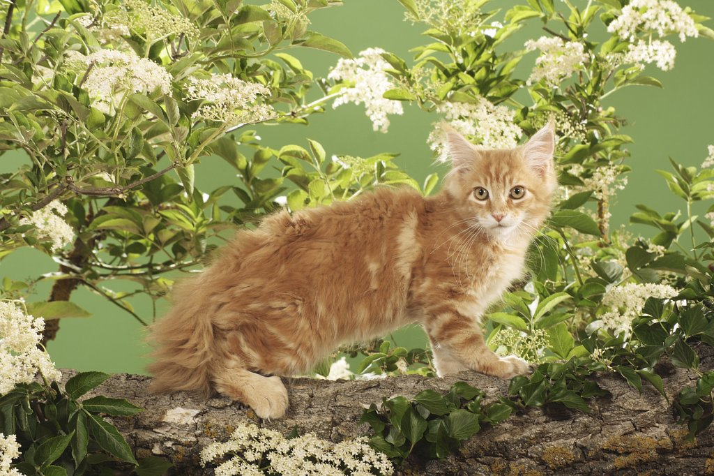 Maine Coon kitten - standing on branch : Stock Photo