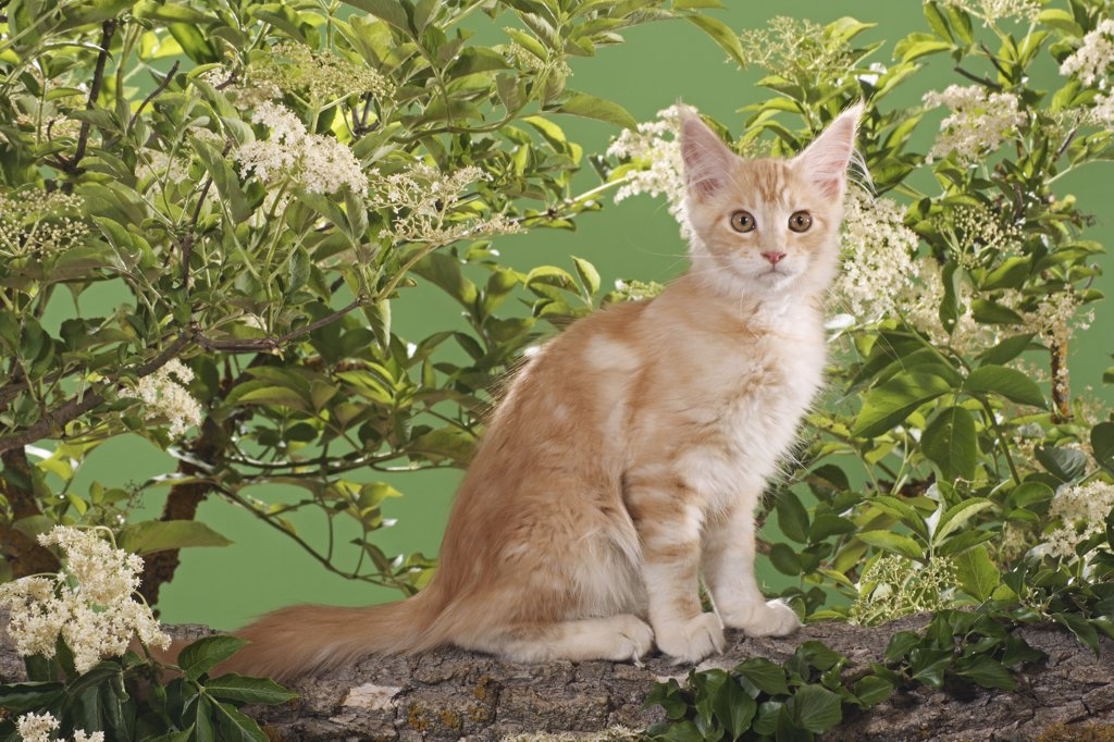 Maine Coon kitten - sitting on branch : Stock Photo