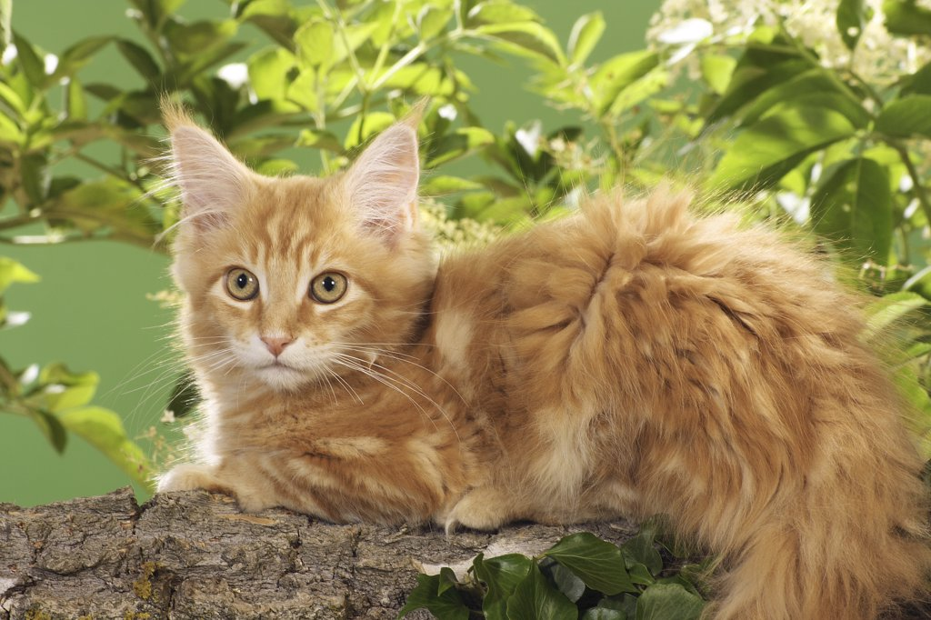 Maine Coon kitten - lying on branch : Stock Photo