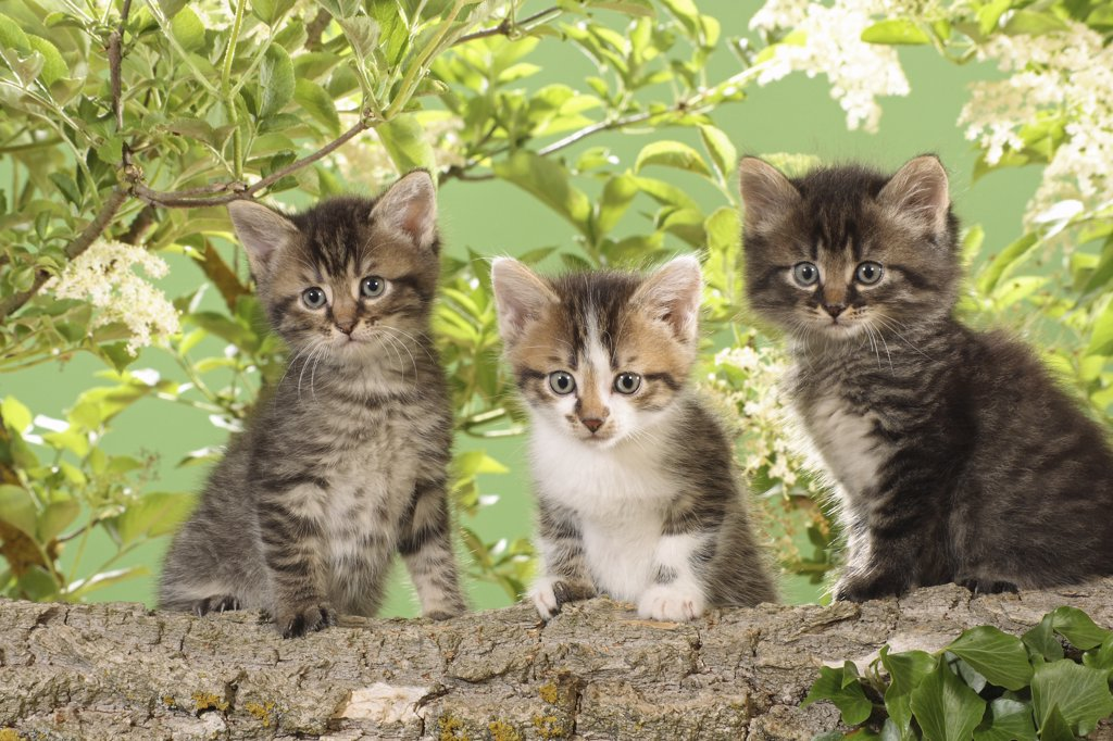 Stock Photo: 4279R-52773 three kittens sitting on branch
