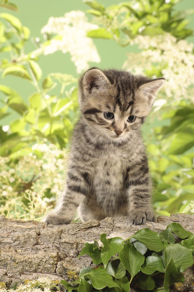 Stock Photo: 4279R-52775 kitten sitting on branch