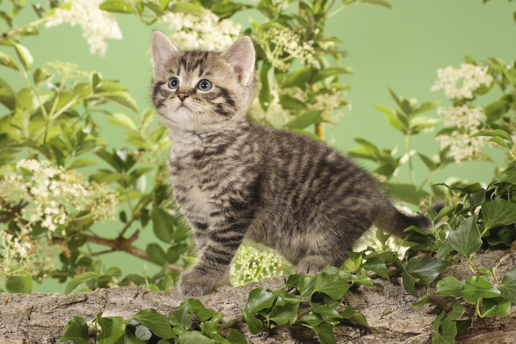 Stock Photo: 4279R-52776 kitten standing on branch