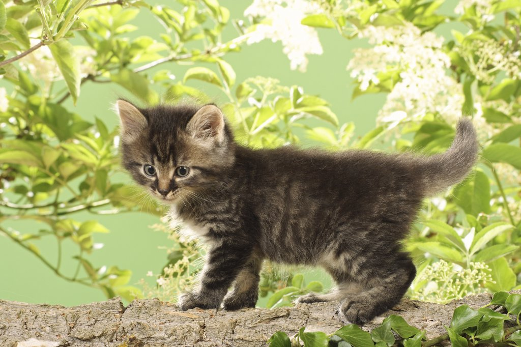 Stock Photo: 4279R-52777 kitten standing on branch