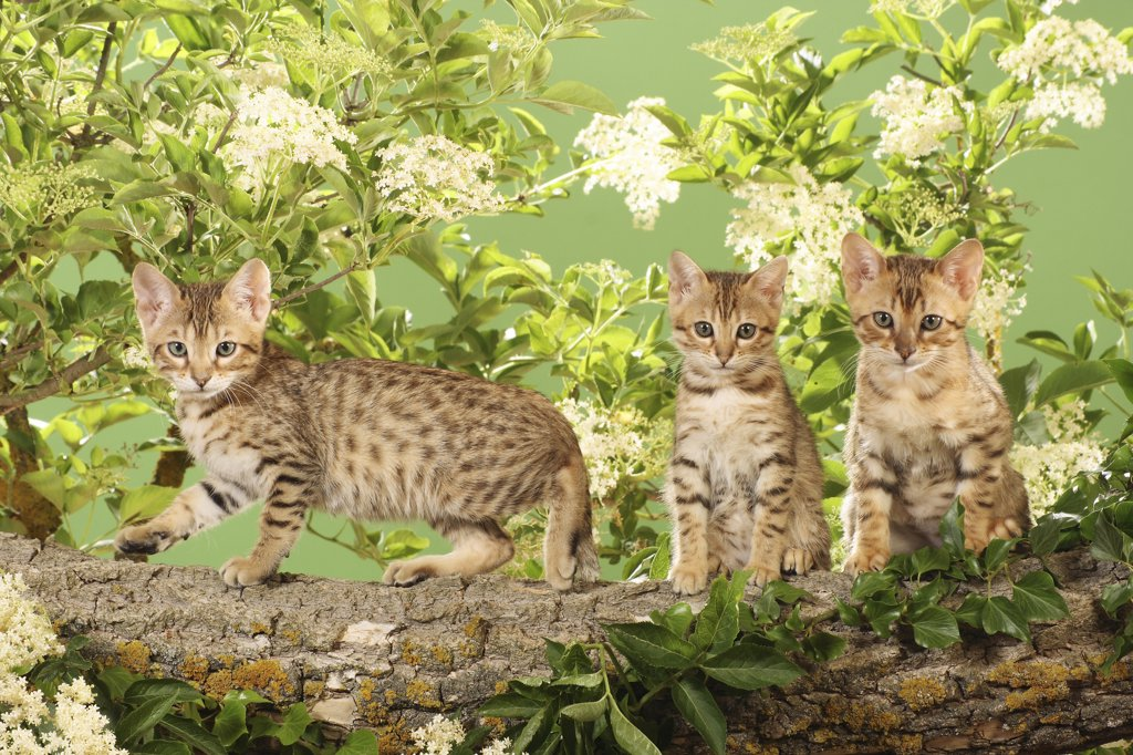 Stock Photo: 4279R-52800 three Bengal kittens on branch