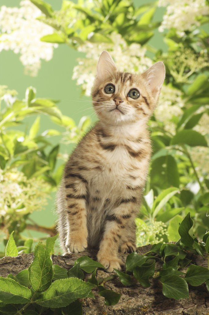 Stock Photo: 4279R-52804 Bengal kitten on branch