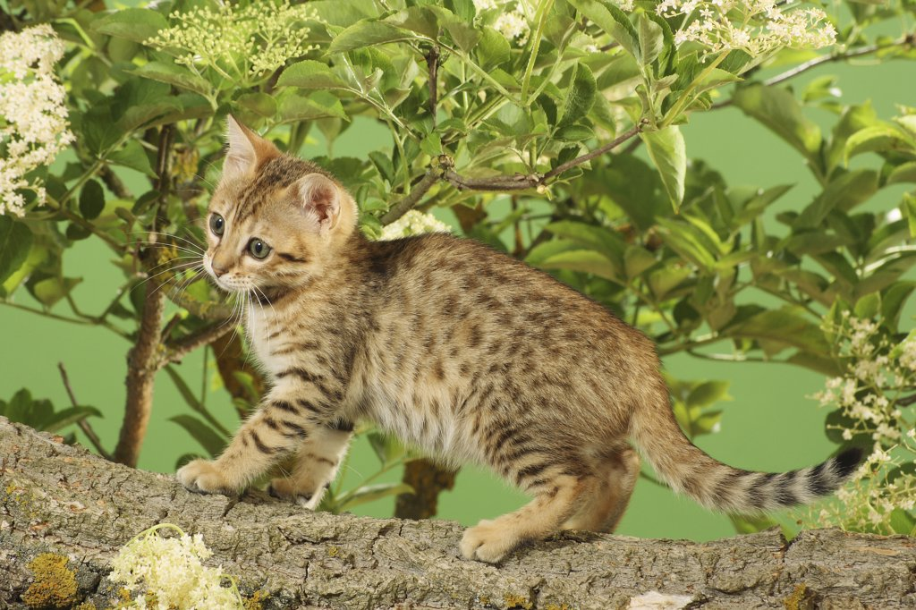 Stock Photo: 4279R-52806 Bengal kitten on branch