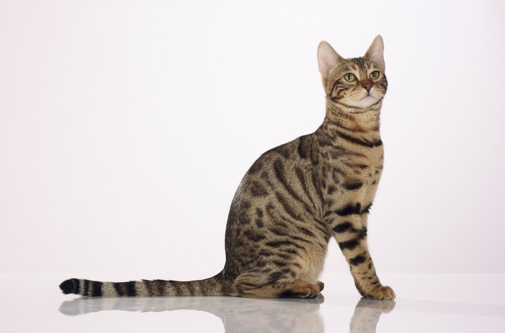 Stock Photo: 4279R-52836 Bengal cat - sitting - cut out