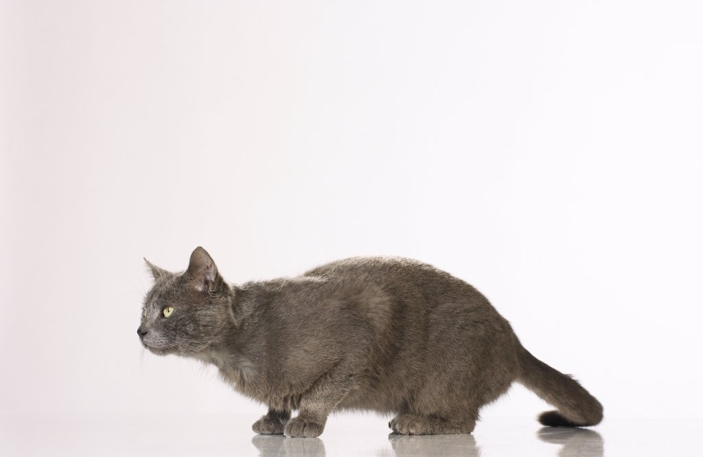 Stock Photo: 4279R-52869 cat - creeping - cut out