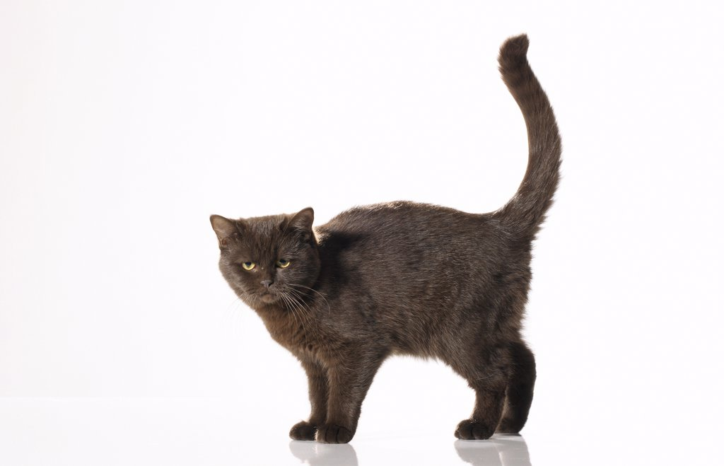Stock Photo: 4279R-52958 cat - standing - cut out