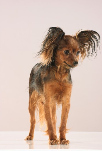Stock Photo: 4279R-53259 Russian Toy Terrier - standing - Freisteller