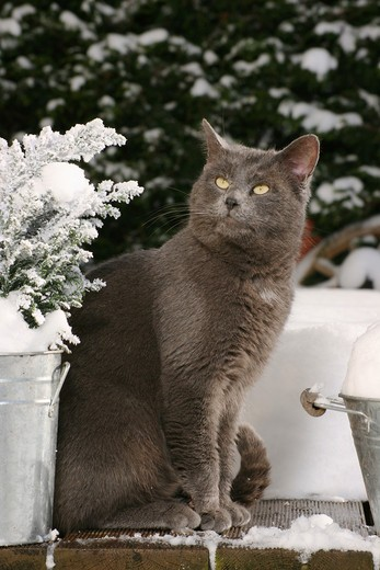 Stock Photo: 4279R-53269 grey domestic cat - sitting - winter