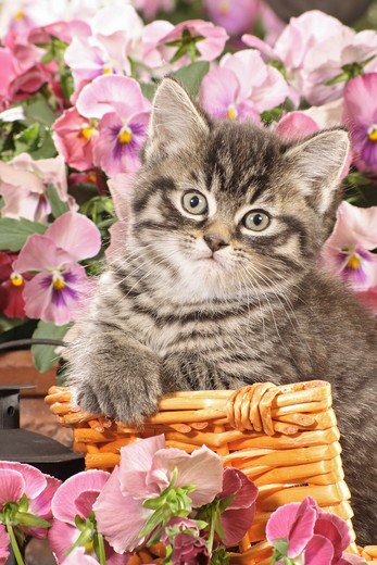 Stock Photo: 4279R-53306 kitten in basket