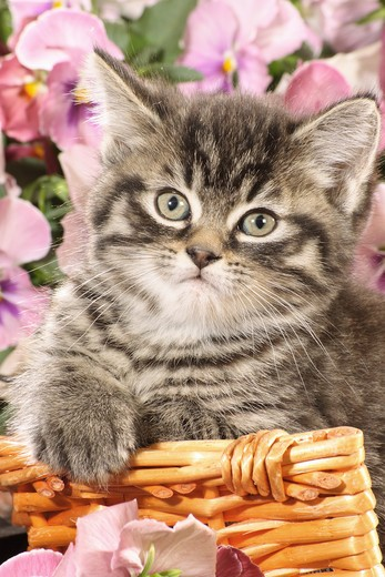 Stock Photo: 4279R-53307 kitten in basket