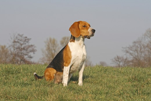 Stock Photo: 4279R-53345 Beagle sitting on meadow