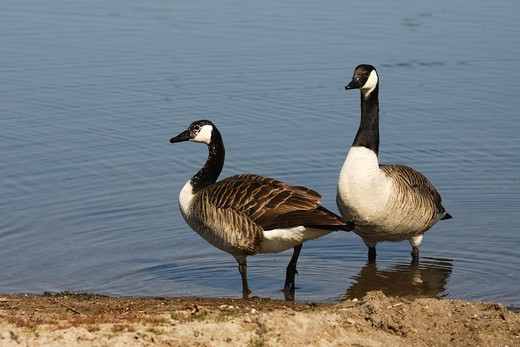 two Canada gooses - standing at the shore , Branta canadensis : Stock Photo
