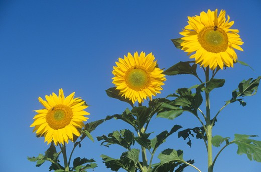 Stock Photo: 4279R-53862 sunflowers