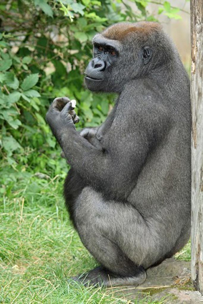 Stock Photo: 4279R-53930 western lowland gorilla - sitting , Gorilla gorilla gorilla