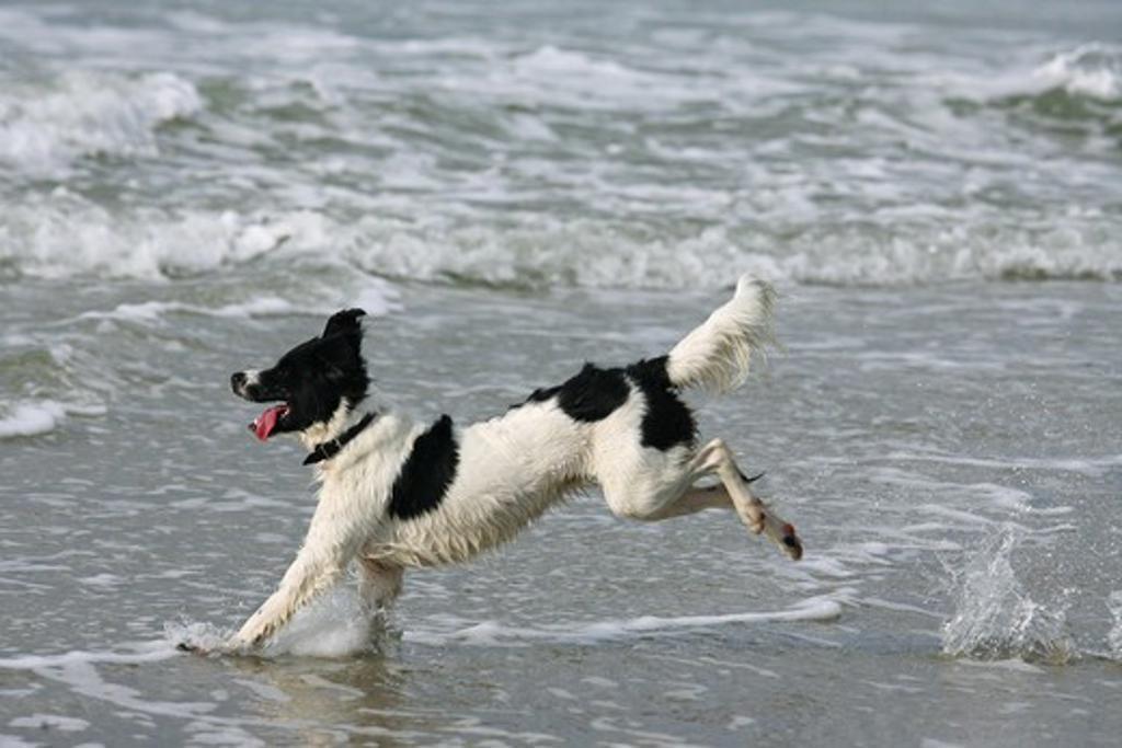 Stock Photo: 4279R-53954 half breed dog - running in the sea