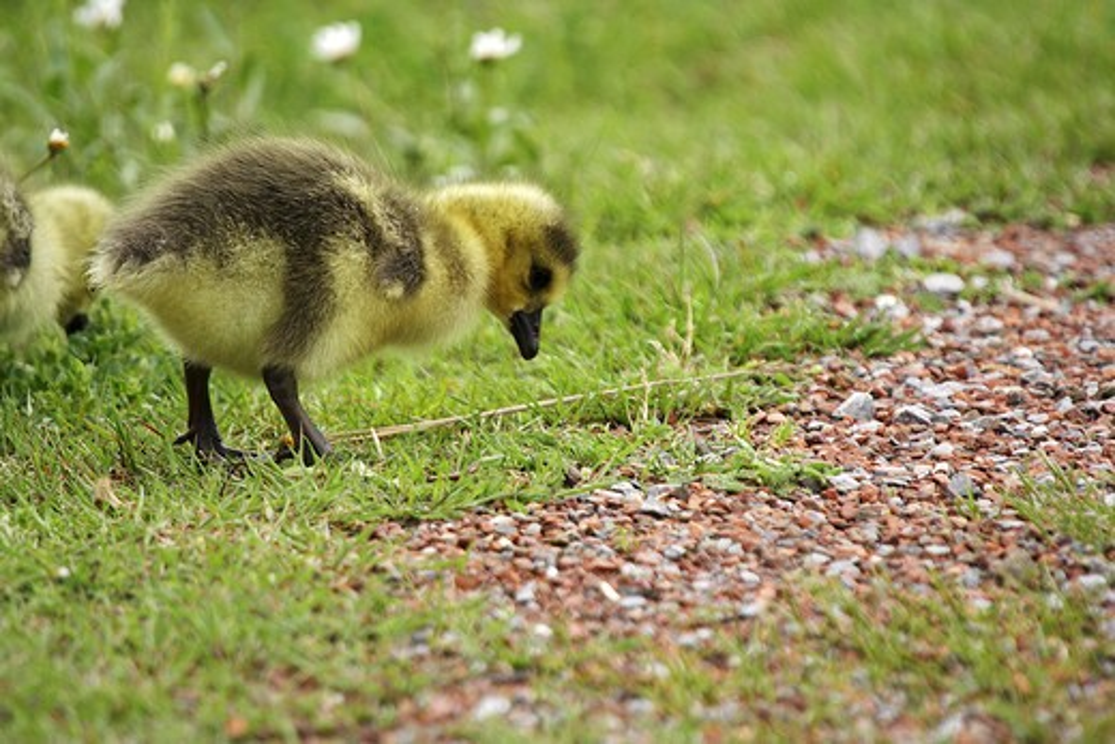 Canada goose - fledgling on meadow , Branta canadensis : Stock Photo