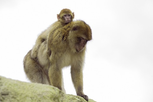 Barbary ape with cub , Macaca silvanus : Stock Photo