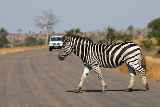 Stock Photo: 4279R-54146 Burchell's zebra crossing a road , Equus Burchelli