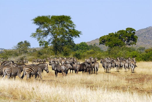 blue wildebeests and Burchell's zebras - herd : Stock Photo