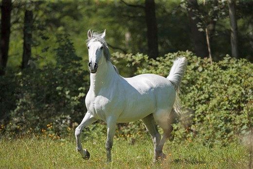 Andalusian horse - walking on meadow : Stock Photo