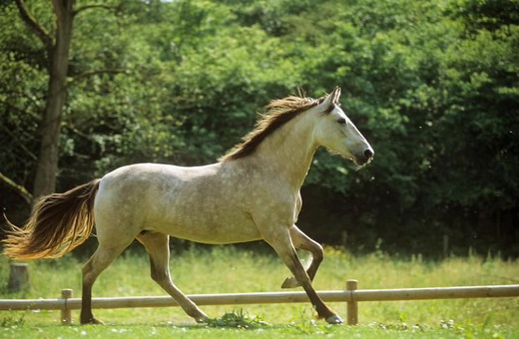 Stock Photo: 4279R-54406 Mangalarga Marchador - running on meadow